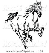 Clip Art of a Black and White Wild Mustang Running Forward Towards the Viewer on White by C Charley-Franzwa